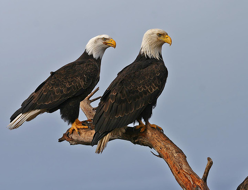 Eagles in a storm