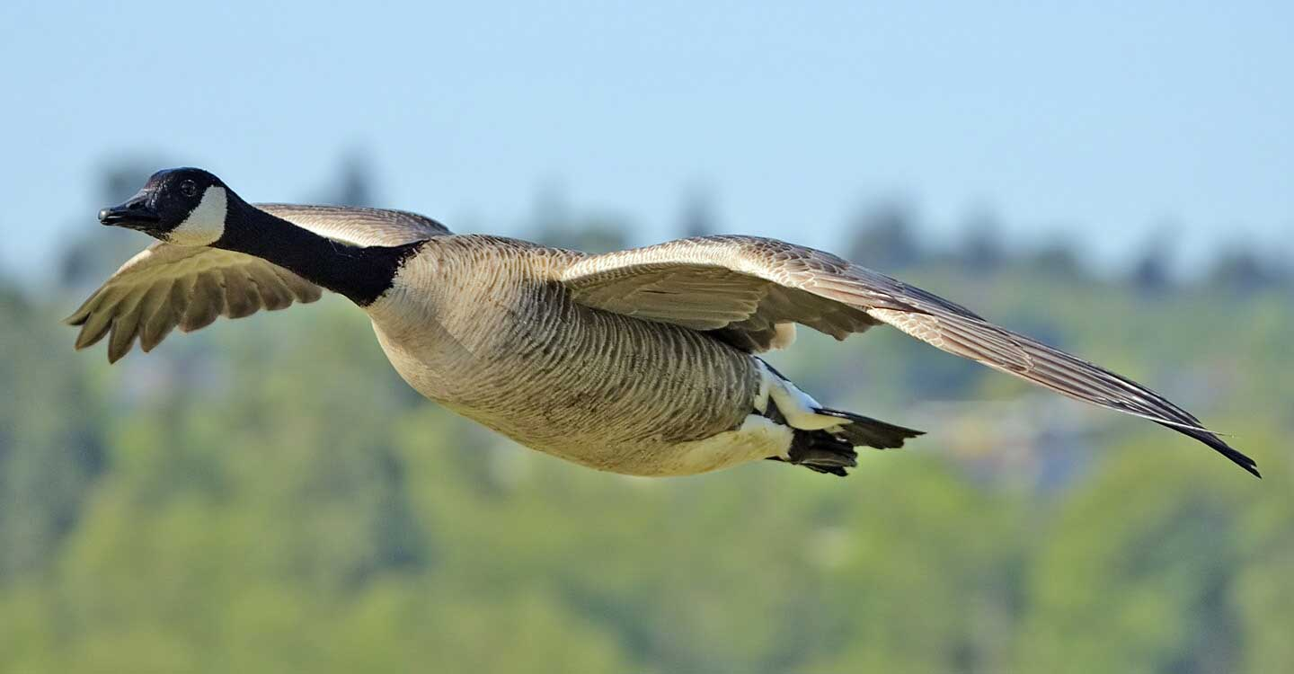 A wild goose flying