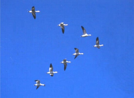 Geese flying in a V