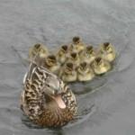 duck-story-from-san-antonio -10