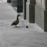 duck-story-from-san-antonio -3