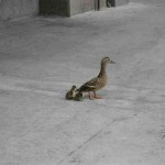 duck-story-from-san-antonio -4