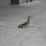 duck-story-from-san-antonio -4