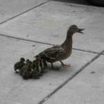 duck-story-from-san-antonio -5