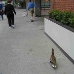 duck-story-from-san-antonio -6