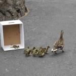duck-story-from-san-antonio -7