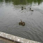 duck-story-from-san-antonio -8