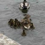 duck-story-from-san-antonio -9