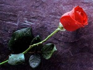 Rose-on-rock