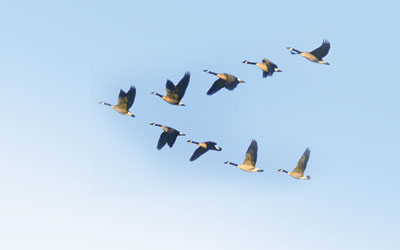 Pedagogy From Geese