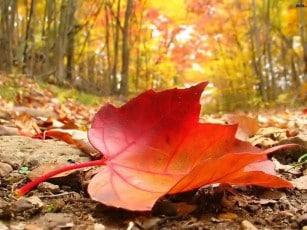 Autumn leaf falls
